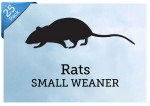 25-Small-Rat-Weaners