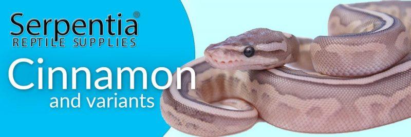 cinnamon royal python ball python snakes for sale uk