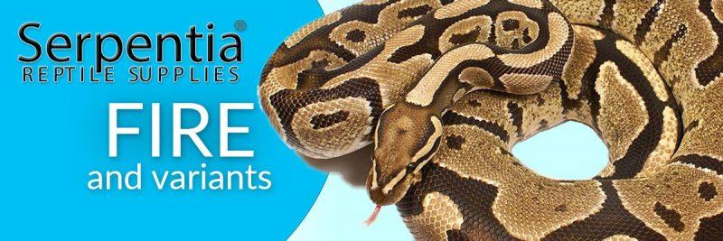 fire royal python ball python snakes for sale uk