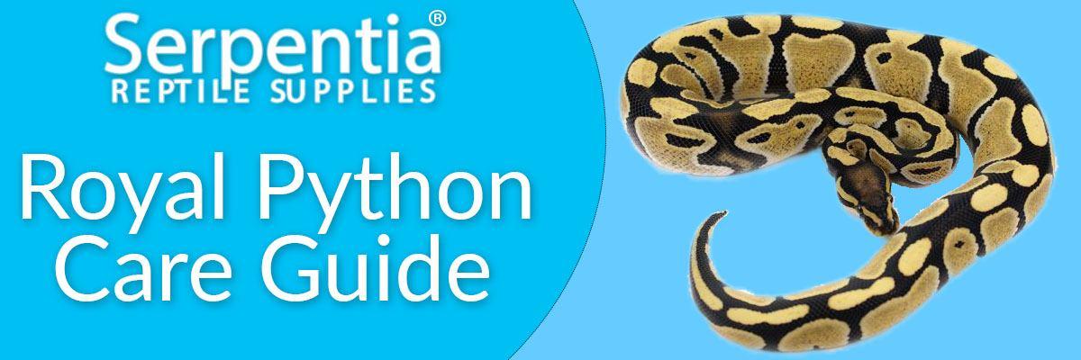 ball python royal python care guide