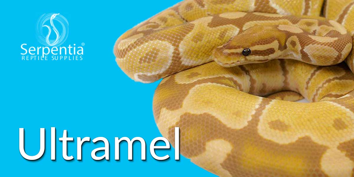 Ultramel Royal Python Ball Python Snakes For Sale UK