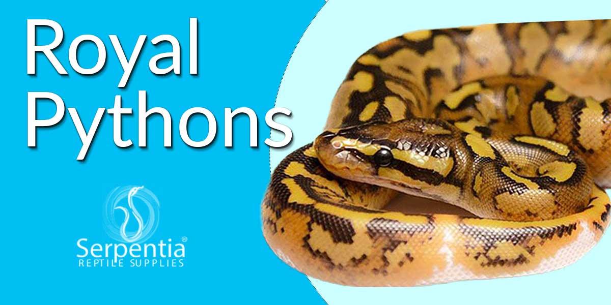 royal python ball python snakes for sale uk
