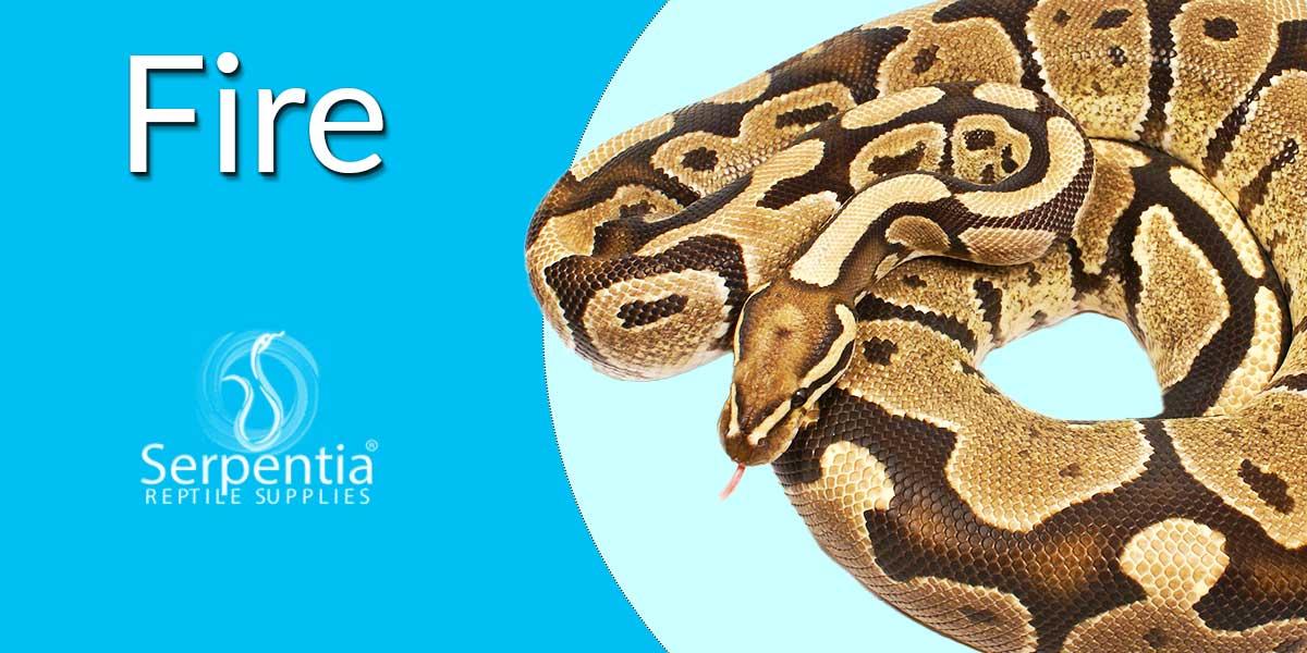 Fire Royal Python | Ball Python | Python Regius UK